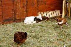 Goats at zoo Royalty Free Stock Image