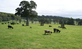Goats in a zoo, safari, or a safari park in England Royalty Free Stock Image