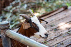 Goats in a zoo in Thailand. Goat, cow with markings similar. Stock Photo