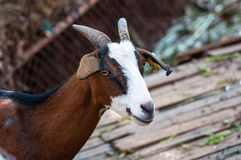 Goats in a zoo in Thailand. Goat, cow with markings similar. Royalty Free Stock Images