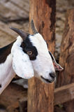 Goats in a zoo in Thailand. Goat, cow with markings similar. Royalty Free Stock Photos