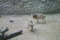 Goats in zoo stock photography