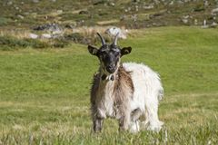 Goats in the Zwieselbach valley in Tyrol royalty free stock photography