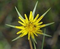 Goatsbeard λουλούδι Στοκ εικόνα με δικαίωμα ελεύθερης χρήσης