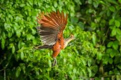 Goatsin在一棵树的Opisthocomus hoazin在亚马逊雨林的Limoncocha国家公园在厄瓜多尔 免版税库存图片