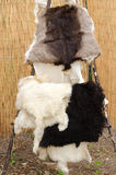 Goatskins Royalty Free Stock Images