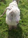 Goaty stockbild
