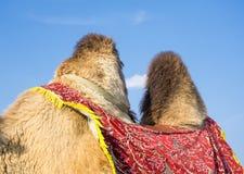 Gobbe del cammello immagine stock