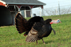Gobble attack Stock Image