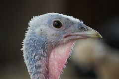 Gobble Gobble Royalty Free Stock Images
