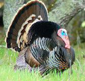 Gobbler#2 Royalty Free Stock Images