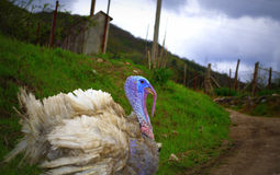 Gobbler on dirt mountain path. Picturesque male turkey gobbler strolling on dirt mountain road Royalty Free Stock Images