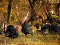 Gobbler harem Royalty Free Stock Photos