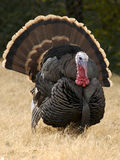 Gobbler Strut Stock Photos