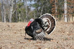 Gobbler Strutting his stuff Stock Image