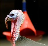 Gobbler. What a turkey gobbler in Antaly zoo stock photos