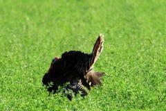 Gobbler. A wild gobbler in a field Stock Photo