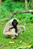 Gobbons. Gibbons are down to the ground to find food Stock Photography