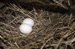 Gołąbek jajka Fotografia Royalty Free