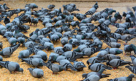 Gołębi karmienie Obraz Royalty Free