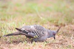 gołębi lophotes czubaci ocyphaps Fotografia Royalty Free