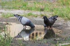 Gołębi ptak Zdjęcia Stock