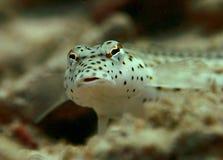 gobi虾spotfin 免版税库存照片
