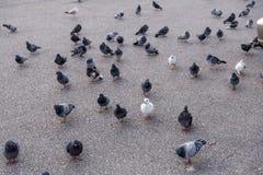 gołębie Obraz Stock
