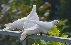 gołębie biały Zdjęcia Stock