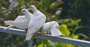 gołębie biały Fotografia Stock