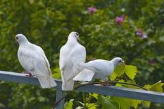 gołębie biały Fotografia Royalty Free