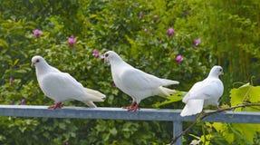 gołębie biały Obrazy Royalty Free