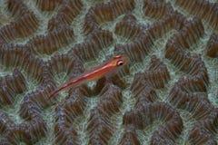 Gobie de corail Images stock