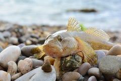 Gobie de mer sur la plage près de l'eau Image stock