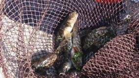 Gobies fresh landing net Royalty Free Stock Photography
