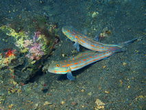 Gobies Royalty Free Stock Images