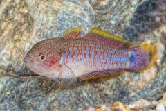 gobiid鱼& x28画象; Tateurndina ocellicauda& x29;在水族馆 免版税图库摄影