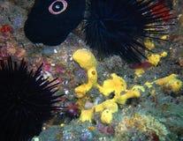 Gobio de la cebra, esponja del azufre, lapa, y erizos de mar púrpuras Imagen de archivo libre de regalías