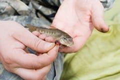 Gobio de los pescados Foto de archivo libre de regalías