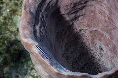Gobio de neón en esponja gigante del barril foto de archivo