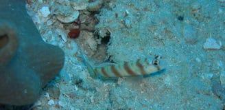Gobio del camarón Fotografía de archivo libre de regalías
