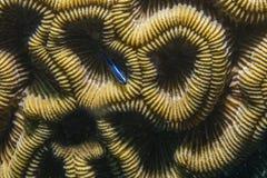 Gobio y coral de neón Fotografía de archivo