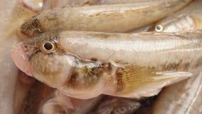 Gobios de los pescados Imagen de archivo libre de regalías