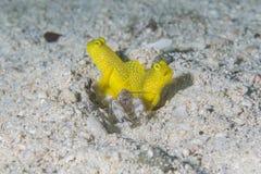 Gobis del camarón del camarón de rotura del tigre Imagenes de archivo