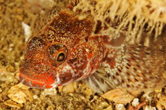 Gobius cruentatus - Red lipped goby Stock Photos