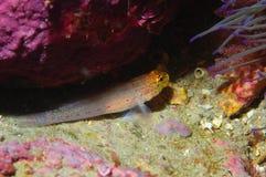 A Gobius xanthocephalus fish specie Royalty Free Stock Photo