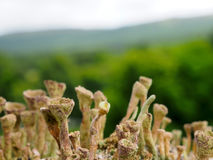 Goblet Lichen. Macro  image of goblet lichen, Cladonia fimbriata, growing on a wooden fence post in Killin, Scottish Highlands Stock Photography