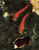 Goby Stock Images