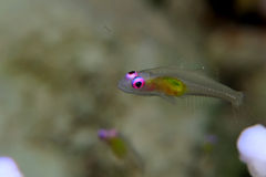 Goby Stock Image