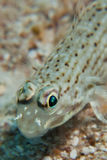 Goby Stock Photography
